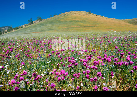 Mostly Purple Owls Clover Castilleja exserta Sequoia National Forest Kern County California - Stock Photo