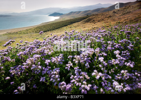 Wild Heliotope Phacelia crenulata and Lake Isabella Kern County California - Stock Photo