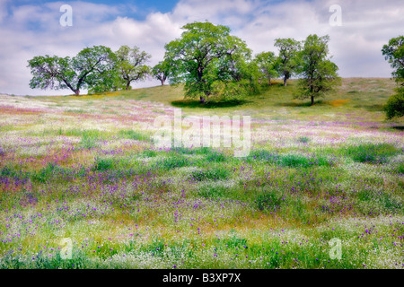 Mixture of wildflowers with oak trees Kern County California - Stock Photo