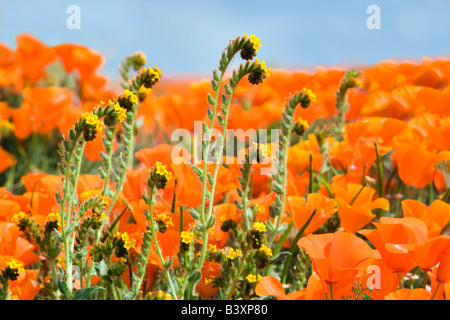 California poppies Eschscholtzia california and fiddleneck close up Antelope Valley Poppy Preserve California - Stock Photo