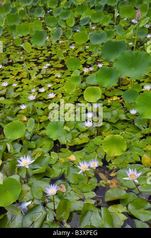 Water lilies in pond Kauai Hawaii - Stock Photo