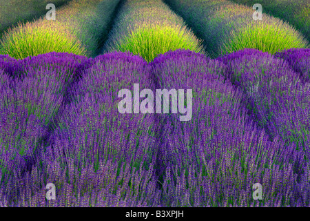 Rows of lavender Angels Lavender Farm Washington - Stock Photo