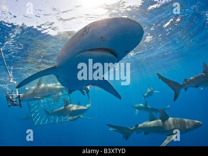 Galapagos Sharks Carcharhinus galapagensis Oahu Pacific Ocean Hawaii USA - Stock Photo