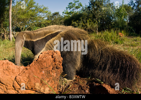 Captive Giant Anteater Myrmecophaga tridactyla in Mato Grosso do Sul, Brazil - Stock Photo
