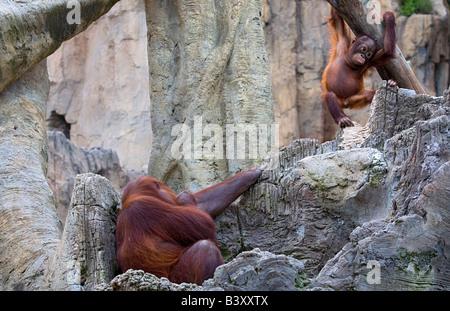Nursing orangutan reaches out to baby - Stock Photo