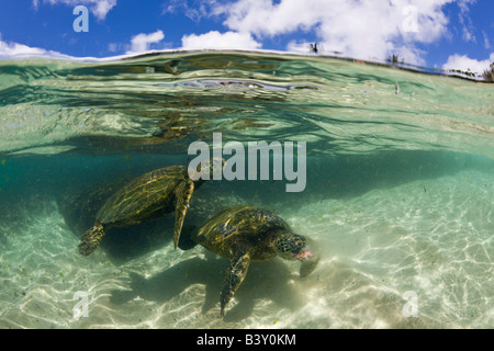 Green Turtles Chelonia mydas Oahu Pacific Ocean Hawaii USA - Stock Photo
