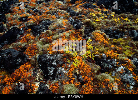 Close up of colorful lichen and moss on the arctic tundra, Auyuittuq National Park, Baffin Island, Nunavut, Canada - Stock Photo