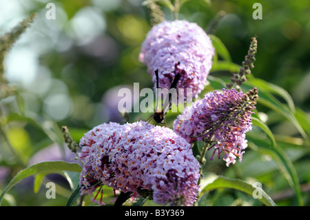 A peacock butterfly on Buddleia - Stock Photo