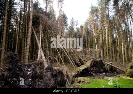 Fallen tree and roots in middle of pine forest, Gortin Glen Forest Park, Ulster, Northern Ireland - Stock Photo