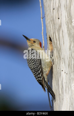 Female red-bellied woodpecker (Melanerpes carolinus) at nest hole at Venice Rookery, Florida, USA - Stock Photo