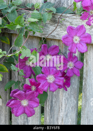 Purple clematis growing on weathered fence - Stock Photo