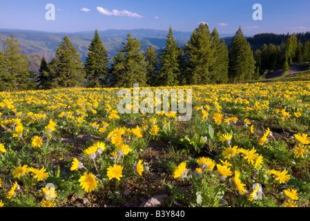 Yellow daisy like flowers at Hell s Canyon National Recreation area Oregon - Stock Photo