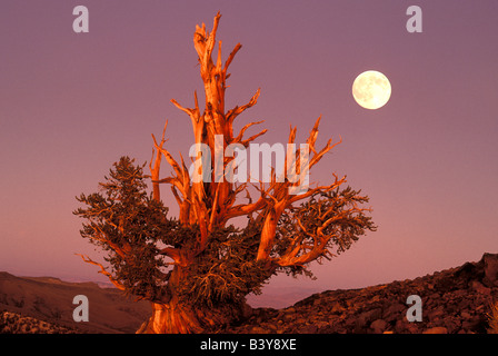 USA, California, Inyo National Forest, White Mountains. Full moon rising behind ancient Bristlecone Pine Forest. - Stock Photo