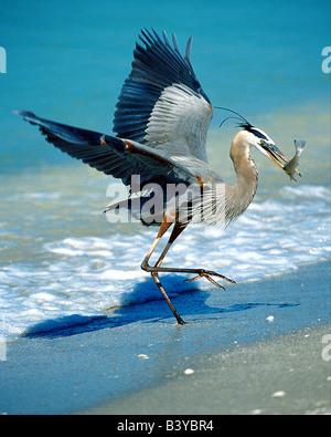 USA, Florida, Captiva Island. Great blue heron on beach catching fish. - Stock Photo
