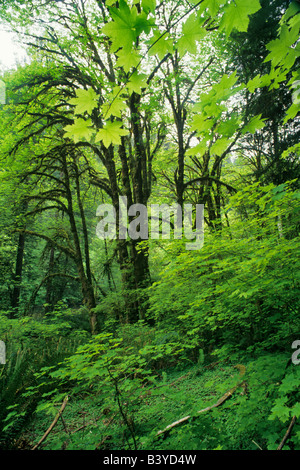 Big Leaf Maple in spring Redwood National Park California - Stock Photo