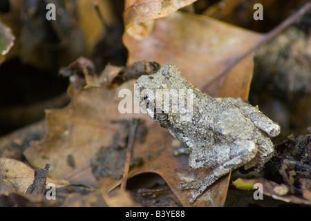 Gray Tree Frog Hyla versicolor - Stock Photo