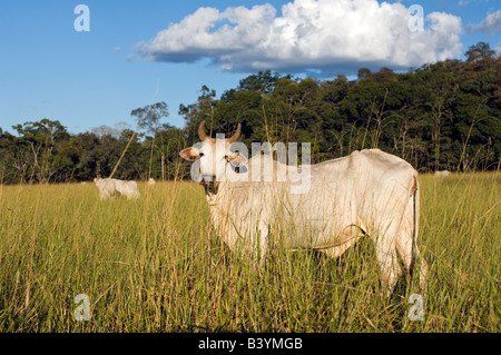 Cattle ranching in Mato Grosso do Sul in Brazil has resulted in massive deforestation in the state - Stock Photo