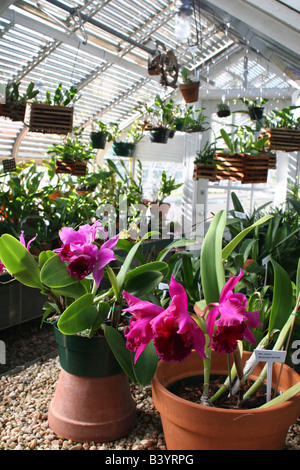 ... Orchids In The Reynolda Gardens Greenhouse   Stock Photo