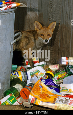 Red Fox (Vulpes vulpes) scavenging for food around dustbin - Stock Photo