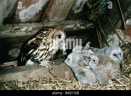 zoology / animals, avian / bird, Tawny Owl, (Strix aluco), feeding cubs with mouse, nest under a roof, distribution: - Stock Photo
