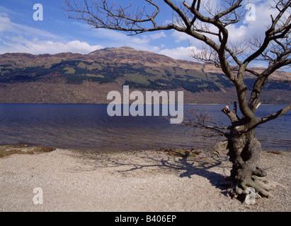 dh Ben Lomond LOCH LOMOND DUNBARTON Tree on Loch Lomond beach - Stock Photo