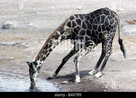 the zoology of giraffes giraffa camelopardalis Journal of zoology (london) submitted u niversity of pretoria etd - v an sch alkw yk, o l (2 0 0 5 ) acknowledgements ii giraffe (giraffa camelopardalis) and african buffalo (syncerus caffer) skeletons by ockert louis van schalkwyk.