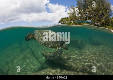 Green Turtle Chelonia mydas Oahu Pacific Ocean Hawaii USA - Stock Photo