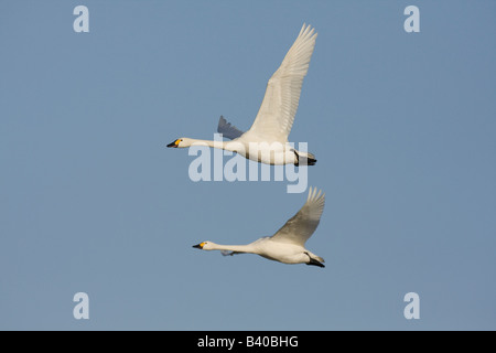 Two Bewick's swan Cygnus columbianus in flight together - Stock Photo