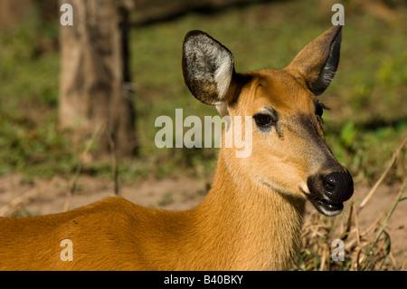 Captive Pampas Deer Ozotoceros bezoarticus in Mato Grosso do Sul Brazil - Stock Photo