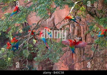 Wild non captive non habituated Red and Green Macaws in a sink hole in Mato Grosso do Sul Brazil - Stock Photo