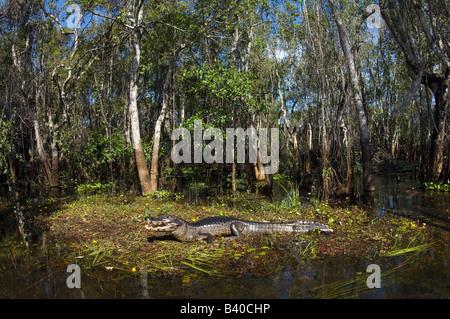 Jacare Caiman or Paraguay Caiman Caiman yacare in the Pantanal Mato Grosso do Sul Brazil - Stock Photo
