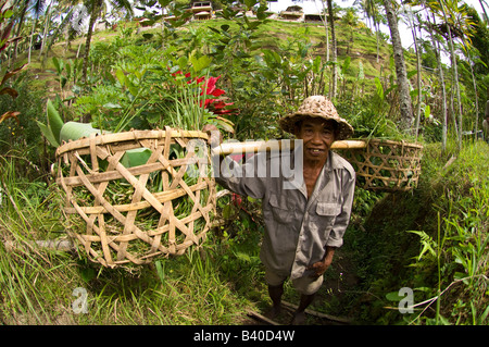 A farmer harvests rice in the rice terraces of Ubud Bali - Stock Photo