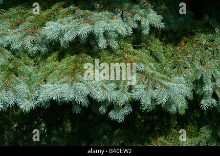 New growth on Blue Spruce Tree ( Picea pungens ) North America - Stock Photo