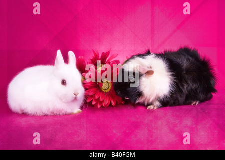 Cute white baby Netherland Dwarf bunny rabbit and black and white Abbysinian Guinea pig with pink flowers on hot - Stock Photo