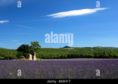 Old ruin in a lavender field, Provence, France - Stock Photo
