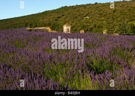 Fields of lavender near Montsalier, church spire in the back, Montsalier, Provence, France - Stock Photo