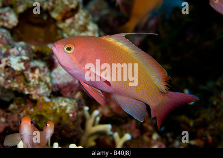 Threadfin Anthias Nemanthias carberryi in Komodo National Park Indonesia - Stock Photo