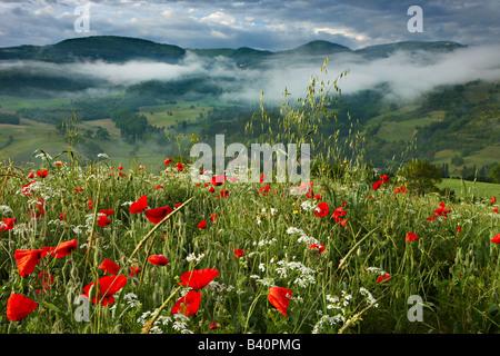 dawn in a poppy field in the Valnerina near Preci, Umbria, Italy - Stock Photo