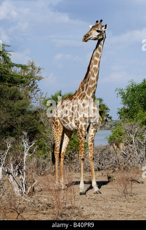 Masai giraffe Giraffa camelopardalis tippelskirchi standing in lakeside habitat of lake Mzizimia Selous Game Reserve - Stock Photo