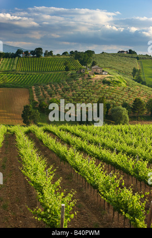 a vineyard near Montefalco in the Val di Spoleto, Umbria, Italy - Stock Photo