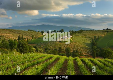 a vineyard near Montefalco in the Val di Spoleto, Umbria, Italy - Stock Photo