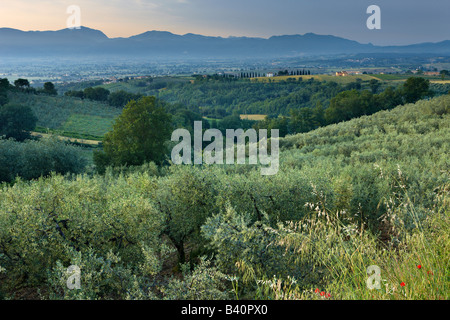an olive grove overlooking the Val di Spoleto near Montefalco, Umbria, Italy - Stock Photo