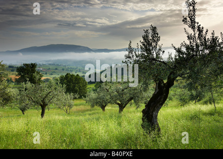an olive grove near Montefalco, Umbria, Italy - Stock Photo