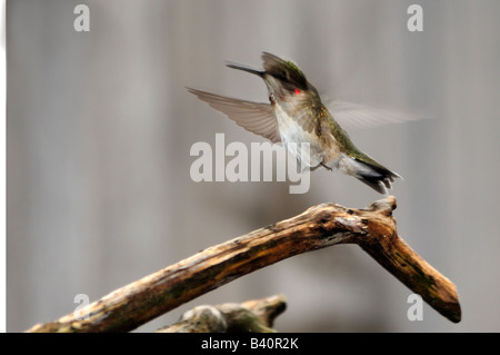 An immature male Ruby throated Hummingbird, Archilochus colubris, flies from a branch. Oklahoma, USA. - Stock Photo