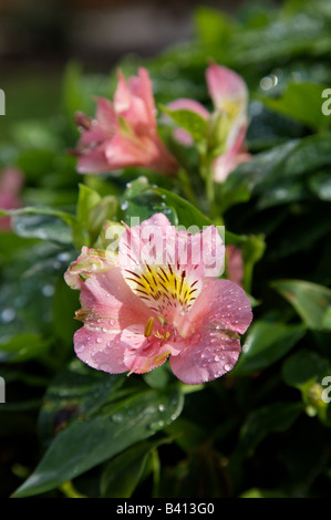 Princess Lily (Alstroemeria), in garden setting - Stock Photo