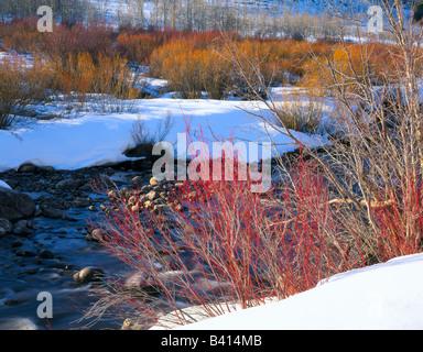 UTAH. USA. Willows  in late winter along Logan River. Logan Canyon. Bear River Range - Stock Photo