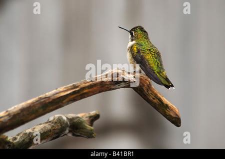 An immature male Ruby throated Hummingbird, Archilochus colubris, perching. Oklahoma City, Oklahoma, USA - Stock Photo