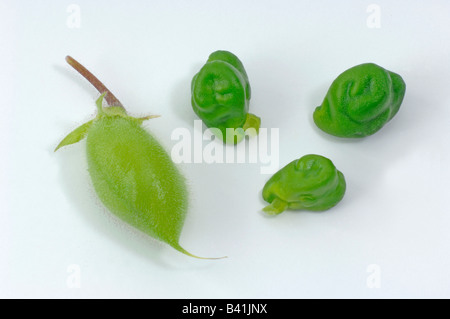 Chick Pea, Chickpea (Cicer arietinum) seedpods and seeds studio picture - Stock Photo