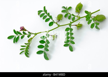 Chick Pea Chickpea (Cicer arietinum) twig with seedpots and flowers studio picture - Stock Photo