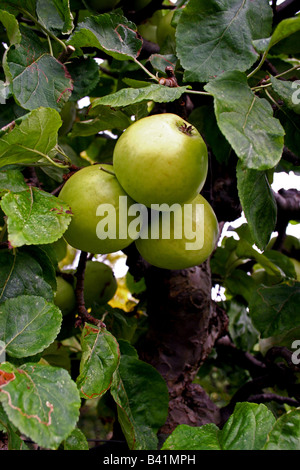ENGLISH BRAMLEY'S SEEDLING COOKING APPLES ON THE TREE. - Stock Photo